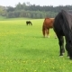 Horses Eat Spring Grass in a Field - VideoHive Item for Sale