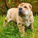 Shar Pei Puppies Playing in the Garden - VideoHive Item for Sale