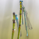Three damselfly sleeping - PhotoDune Item for Sale