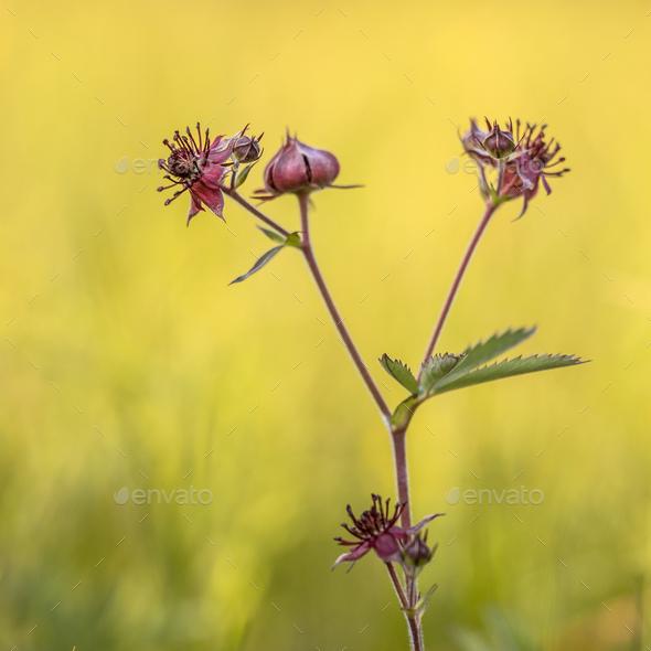 Purple marshlocks - Stock Photo - Images