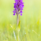 Bright Colorful orchid on Wadden island - PhotoDune Item for Sale