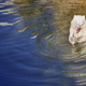 Polar bear cub eating on the water. Wildlife animal background. Horizontal - PhotoDune Item for Sale