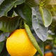 Orange fruit on an orange tree. Organic and healthy food - PhotoDune Item for Sale