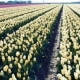 Field with Many Tulips, Alkmaa, Holland - VideoHive Item for Sale
