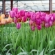 Tulips Farm Near the Rutten Town. Beautiful Morning Scenery in Netherlands, Europe - VideoHive Item for Sale