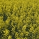 Flowering Rape in the Field. Yellow Rape Flowers in the Field. Cedar Rape Crop - VideoHive Item for Sale