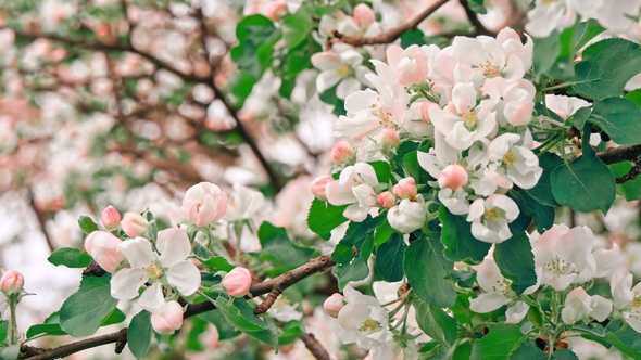 Apple Trees Flowers The Seed Bearing Part Of A Plant By