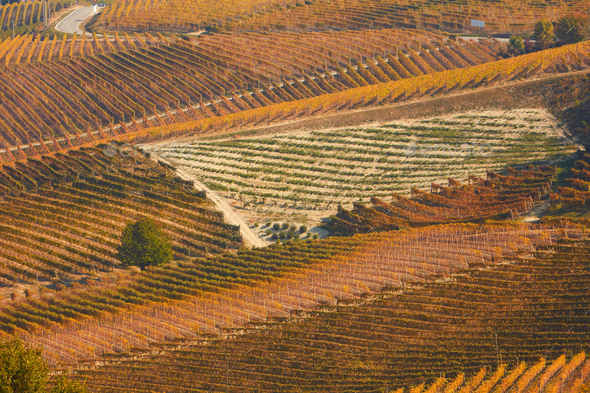 Vineyards in autumn with brown leaves and street in a sunny day - Stock Photo - Images
