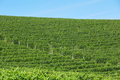 Vineyards green background in a sunny day, blue sky - PhotoDune Item for Sale