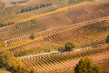 Vineyards in autumn with brown leaves and trees in a sunny day - PhotoDune Item for Sale