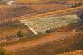Vineyards in autumn with brown leaves and street in a sunny day - PhotoDune Item for Sale