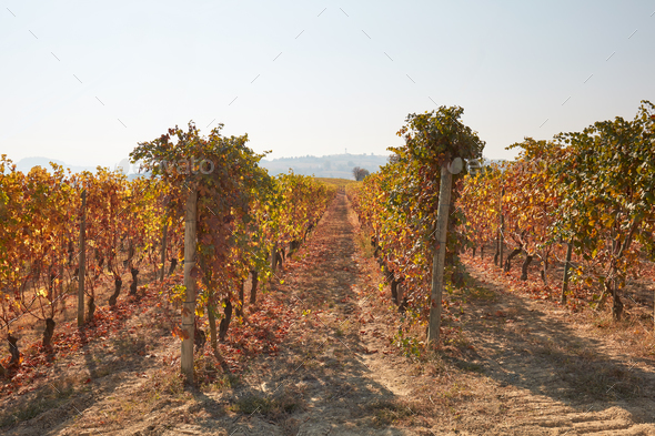 Vineyard, vine rows in autumn with yellow leaves in a sunny day - Stock Photo - Images