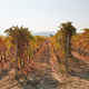 Vineyard, vine rows in autumn with yellow leaves in a sunny day - PhotoDune Item for Sale