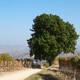 Path and big oak tree with vineyards in the countryside - PhotoDune Item for Sale