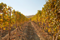 Path in the vineyard in autumn with yellow leaves in a sunny day - PhotoDune Item for Sale