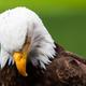 Haliaeetus leucocephalus eagle head - PhotoDune Item for Sale