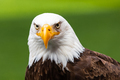Haliaeetus leucocephalus eagle head - PhotoDune Item for Sale