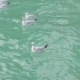 Flock of White Seagulls Floating on Turquoise Water of Sea in Daytime - VideoHive Item for Sale
