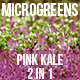 Microgreens Pink Kale - VideoHive Item for Sale