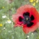 Flower of Red Poppy on Wind - VideoHive Item for Sale