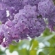 Branch with Flowering Lilac - VideoHive Item for Sale