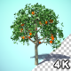 Growing Orange Tree Fruit HQ - VideoHive Item for Sale