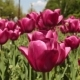 Large Flowerbed, Beautiful Red Tulips. - VideoHive Item for Sale