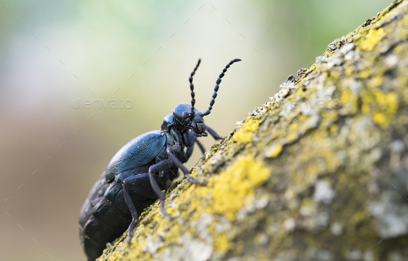 black oil beetle - Stock Photo - Images
