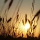Spikelets at Sunset - VideoHive Item for Sale
