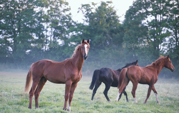 horses on foggy pasture in morning - Stock Photo - Images