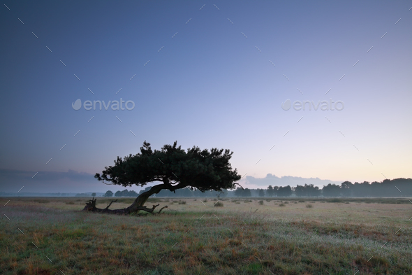lone pine tree on meadow in dusk - Stock Photo - Images