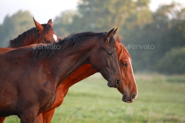 brown horses on pasture outdoors - Stock Photo - Images