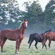 horses on foggy pasture in morning - PhotoDune Item for Sale