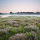 flowering heather on marsh by lake - PhotoDune Item for Sale