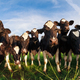 herd of cows on pasture over blue sky - PhotoDune Item for Sale