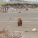 Brown Bear Walking In Pulted Beach - VideoHive Item for Sale