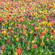 Thousands of Tulips - PhotoDune Item for Sale