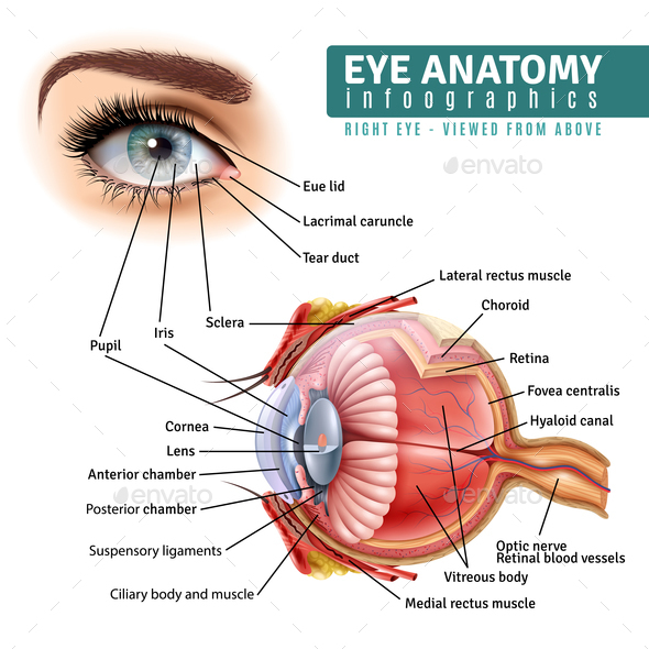Realistic Eye Anatomy Infographics by macrovector   GraphicRiver