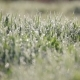 Green Grass with Lots of Water Droplets in the Morning. Grass with Dew Drops Sway - VideoHive Item for Sale