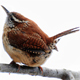 Wren Bird Song