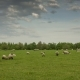 Herd of Grazing Sheep on the Outskirts of Hanover - VideoHive Item for Sale