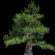 4K Japanese Pine Tree Growing Timelapse - VideoHive Item for Sale
