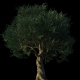 4K Olive Tree Growing Timelapse - VideoHive Item for Sale