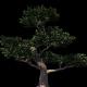 4K Ficus Pertusa Tree Growing Timelapse - VideoHive Item for Sale