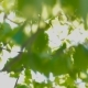 Out of Focus Footage Beautiful Green Nature with Sun Shines Through Fluttering Green Leaves of Birch - VideoHive Item for Sale