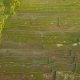 Beautiful Sunset at Rice Paddy Fields. , Aerial. Bali, Indonesia. - VideoHive Item for Sale