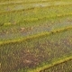 Aerial: Rice Paddy Field - VideoHive Item for Sale