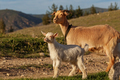Mother goat and her kid - PhotoDune Item for Sale