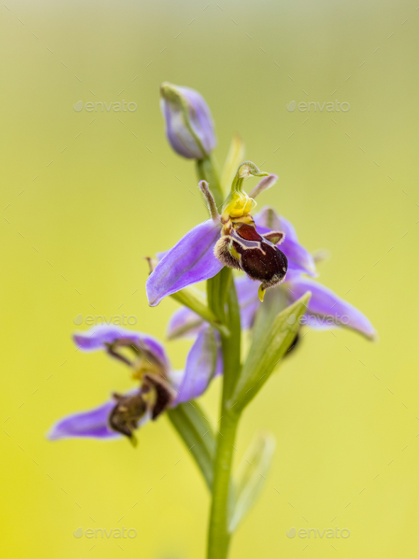 Pink flowers of Bee orchid - Stock Photo - Images