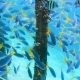 Swarm of Yellow Tail Fusilier, Caesio Cuning, Swimming Near Pier Pole, Raja Ampat, Indonesia - VideoHive Item for Sale